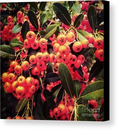 Berry Fall Canvas Print by Onedayoneimage Photography. berries, fall, bright, orange, clusters, tree, botanical, branches, autumn, autumn colors, autumn berries, fall berries, pyracantha, firethorn, berry tree, berry shrub