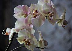 Phalaenopsis Orchid Elegant Lady by Daykiney.deviantart.com on @DeviantArt