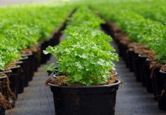 A petrezselyem jótékony hatásai: egy igazi szépítő növény! Celery, Herbs, Vegetables, Garden, Plants, Garten, Herb, Vegetable Recipes, Flora