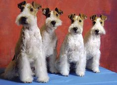 Wire Fox Terriers Line-Up