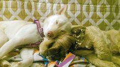 I was someone's pillow last night. #beantown #boston #dogsofboston #bostondog #zzz #woof #pillow #mydogiscutest #showcasing_pets #pawsforpaws #howcute #dogs_of_world #sendadogphoto #sweetdreams  #tired #mondays #instadog #instapet #brothersister #sibling #shihtzucorner  #shihtzusofinstagramuse #sofluffyimgonnadie #doglovers #shihtzulovers #shibalovers #doge #shibe #doglife #woof by shihtzucody