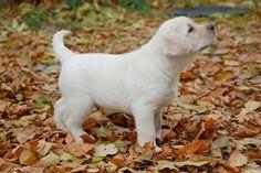 Devonshire Labradors