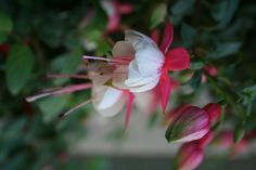fuschias - they remind me of my matante Huguette. I've always loved these, I thought they were so beautiful!