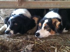 My girls.....Stalking. very cute pics of two border collies not my dogs though.