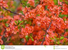 Red Spring Blossom - Download From Over 59 Million High Quality Stock Photos, Images, Vectors. Sign up for FREE today. Image: 91680592