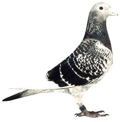 """The """"Dolle"""" is the most famous Jan Aarden pigeon of all times. The """"Dolle"""" died in 1985 - eighteen years of age - at the Van Geel loft"""