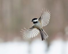 Bird photography:The Art of Staying Aloft No. 5 Chickadee (Poecile atricapillus)