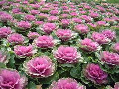 i think ive finally found my floral idea ; Ornamental Cabbage, Ornamental Plants, Flowering Kale, Flower Bed Designs, Cabbage Roses, Winter Flowers, Garden Borders, Autumn Garden, Flower Beds