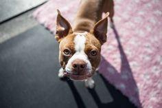 boston-terrier-pup-1752894_640