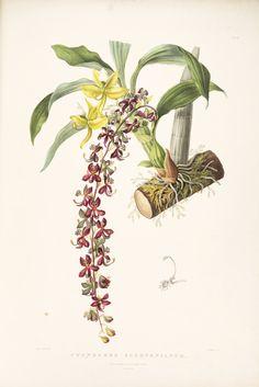 Cycnoches_egertonianum_-_Bateman_Orch._Mex._Guat._pl._40_(1842).jpg (3677×5505)