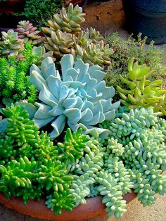 Autumn growth of this group of succulents. Planted during the summer  and flowered shortly thereafter.