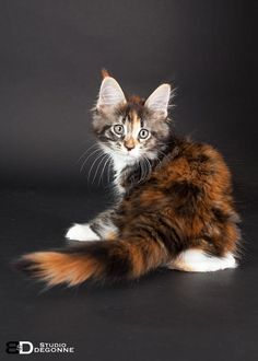 Patayan's Jelka, maine coon black tortie blotched tabby et blanc