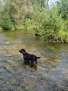 Black lab puppy in the river