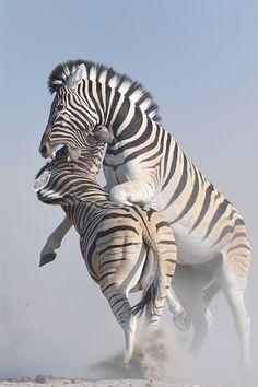 Zebra Battle by Neal Cooper