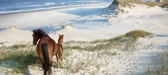 Wild horses.  Outer banks