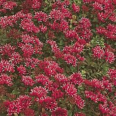 Red Creeping Sedum. full sun/partial shade. zone 3-9. height 3-4 inches. Drought tolerant ground cover.