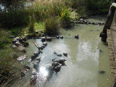Tortue de floride sur pinterest animaux tortues et animaux de compagnie - Bassin tortue floride strasbourg ...