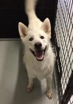 Handsome White Shepherd/Husky mix!This Echo will take your breath away! With his stunning good looks a joyful personality, he will make a happy addition to any home! At 18 months and 55 pounds, Echo came to us as a stray picked up by Animal Control....