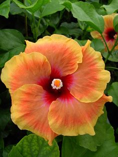 Hibiscus (rose of Sharon) Hibiscus Flowers, Flowers Nature, Exotic Flowers, Orange Flowers, Tropical Flowers, Amazing Flowers, Beautiful Flowers, Hibiscus Rosa Sinensis, Bouquet