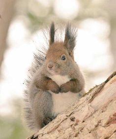 8.-Hokkaido-red-squirrel2-600x723