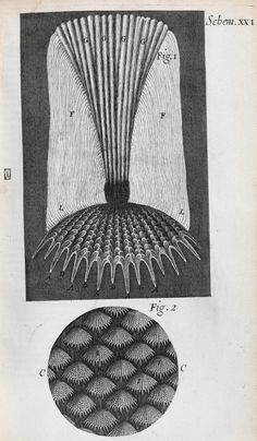 Illustrations showing microscopic views of fish scales, namely a single scale (Fig. 1), and a detail further magnified (Fig. 2). Schem. XXI from Micrographia: or some physiological descriptions of minute bodies made by magnifying glasses with observations and Inquiries thereupon, by Robert Hooke (London, 1665).