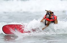 Photos from the Incredible Dog Challenge dog surfing competition Friday, June 8, 2012, in San Diego.
