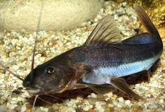 Infos: Exallodontus aguanai - Räuberische Welsarten im Aquarium