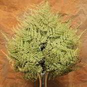 Dried Maiden Hair Fern - Preserved Ferns  - DriedDecor.com