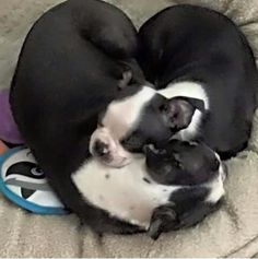 <3 Boston Terriers... maybe Bella and Luna? Time will tell