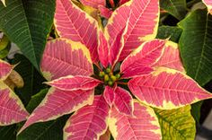 Poinsettia plants in bloom as Christmas decorations Euphorbia Flower, Poinsettia Plant, Vector Portrait, Christmas Traditions, Birds In Flight, Royalty Free Photos, Plant Leaves, Christmas Decorations, Bloom