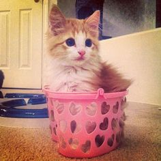 The #kittensofinstagram kitten of the day is @thefluffyfour 😻💙🐾 #cute #adorable #sweet #kitten #cat #tagsforlikes #dogs #cats