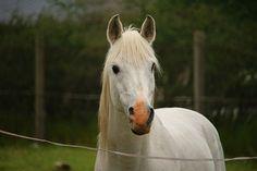 Лошадь, Плесень, Жеребец