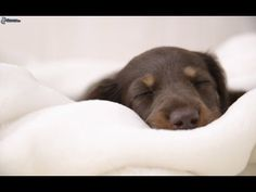 ♪ Pet Therapy: Relaxing  Music for Sleep Dogs and Cats - 2 HOURS ♪ - YouTube