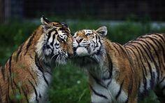 loving tigers