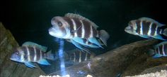 AKWARYSTYKA - AKWAPASJA,  ryby z malawi, tanganika, amazonia, porady, galeria ryb,   : ► AFRYKA - TANGANIKA - CYPHOTILAPIA FRONTOSA