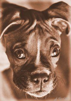 Boxer, My Dog Jac,