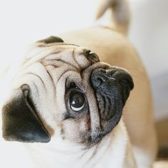 fantastic suggestions on funny pugs. They are actually offered for you on our internet site. Black Pug Puppies, Cute Puppies, Cute Dogs, Cute Baby Pugs, Cute Baby Animals, Pug Pictures, Silly Dogs, Pug Life, Pets