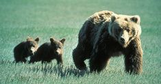 Just weeks ago, animal advocates celebrated the federal court's ruling to re-list Yellowstone grizzly bears on the Federal List of Endangered and Threatened Wildlife which restores Endangered Species Act protections for these bears against trophy hunting. Montana National Parks, Vulnerable Species, American Black Bear, Mother Bears, Bear Cubs, Grizzly Bears, Trophy Hunting, Momma Bear, Endangered Species