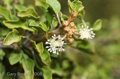 Image result for Croton socotranus