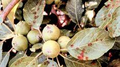Stropirea pomilor fructiferi: când și cum se face Fruit, Plant