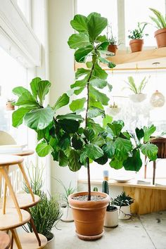 Is it too late to write about ficus lyrata? Bohemian plant ladies have been using fiddle leaf figs to fill higher spaces for maximum green impact. Ficus Lyrata, Plantas Indoor, Fiddle Leaf Fig Tree, Fiddle Fig, Decoration Plante, Interior Plants, Interior Design, Green Life, Green Plants
