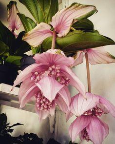 """2 aprecieri, 1 comentarii - Floraria Dorothy's (@florariadorothys) pe Instagram: """"Egzotic beauty.. #medinilla #magnifica #egzotic #plants #clujplants #cluj #clujlife…"""""""