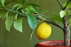 Полезные свойства цитрусовой зелени