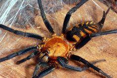 Gorgeous Tiger Spider! ALLPE.com Medioambiente.org : La araña tigre, Linothele fallax