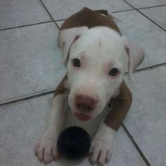 Jhonny - tenho um filhote de pitbul e preciso de dicas e informações sobre como criar cachorros desse porte.