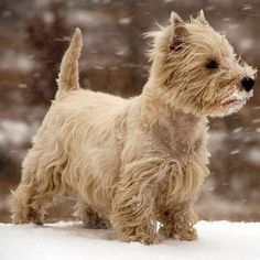 Image result for cairn terriers of duke of windsor