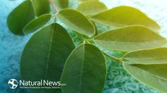 Moringa Oleifera: The King of Superfoods - Natural News Blogs