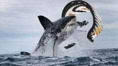 OMG dieser Kiteboarder wird fast von einem riesigen Wal gefressen