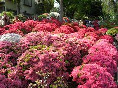 azalea gardens in japan   Spring flowers at Nezu Shrine's Azalea Festival   Cheapo Japan