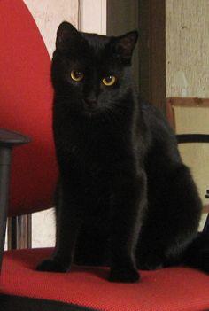 bombay cats Sam has a black cat named Yin I Love Cats, Crazy Cats, Cool Cats, Beautiful Cats, Animals Beautiful, Baby Animals, Cute Animals, Bombay Cat, White Cats